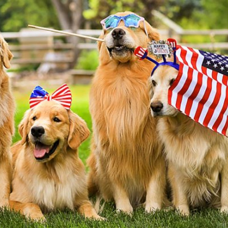 Golden retrievers with US flags