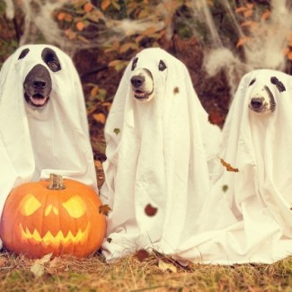 Dogs dressed up as ghosts for Halloween